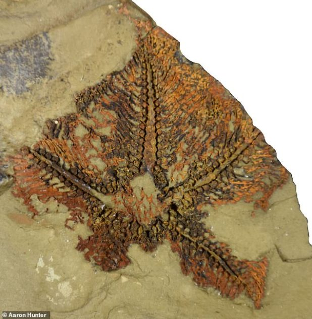 One study reported that a fossil starfish (pictured) in Morocco is 480 million years old, a 'missing link' between modern-day crinoids and their ancestors.