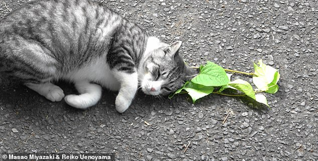 A cat responds to silver vine leaves. While silver vine is endemic to Japan and China, its potent effects on cat behaviour came to global recognition following its import from China to the US