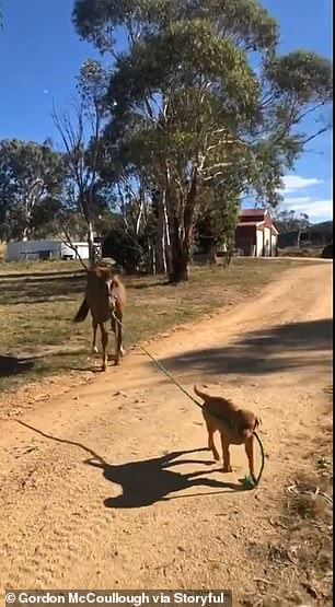 A puppy named Odin attempts to take 10-month-old brumby Mojo for a walk on a farm in Kalkite New South Wales (pictured)