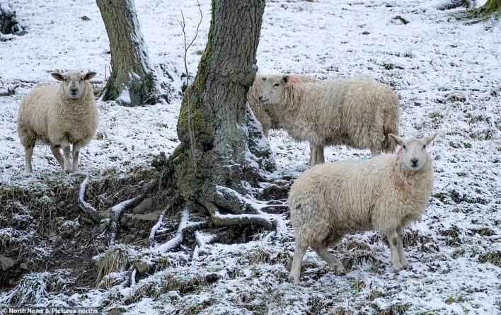 Sheep gather on snow covered fields in Healeyfield, County Durham this morning as Storm Darcy rolls across Britain