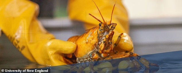 Named Banana, the lobster's yellow body is a result of a genetic mutation in the proteins that bond with shell pigments