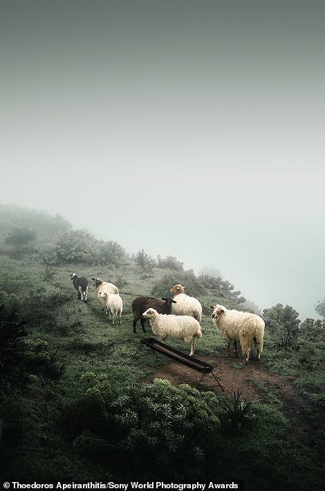 This mesmerising image of sheep grazing on Mount Zeus, a 3,290ft mountain on the Greek island of Naxos, was snapped by Thoedoros Apeiranthitis - the winner of the national award for Greece. He explains: 'One day in early April, I decided to make my way to the top. By the time I was halfway up, the fog had become so dense it completely obscured the base of the mountain, making me feel as if I was flying. I noticed a small herd of sheep grazing peacefully in this strange environment. I took a shot before moving on and becoming lost in the fog'