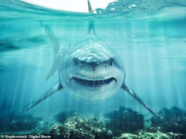 Great white sharks are being forced to move into cooler waters due to climate change - but the move is putting local endangered wildlife at risk, experts warm