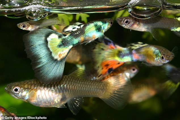 Researchers exposed guppies to levels of fluoxetine, known commercially as Prozac, that are similar to whats found in waterways near sewage plants
