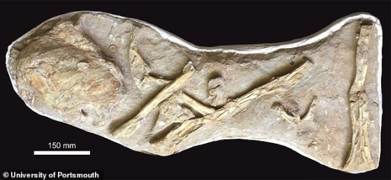 The fossil was originally brought to Martill, embedded in phosphate and gypsum and coated with varnish.  Because it was located next to the bones of a pterosaur, its owner believes that it was a pterodactyl skull.