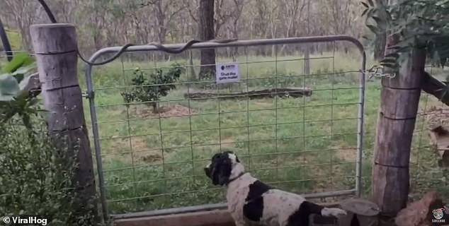 The green tree snake was filmed crossing the fence just centimetres above a dog's head before climbing a tree on a property in Toowoomba, Queensland on Sunday