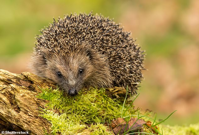 Pictured, a wild European hedgehog. The potential scale of novel coronavirus generation in wild and domesticated animals may have been highly underappreciated, suggests a machine-learning study published in Nature Communications