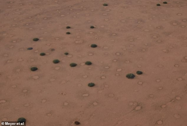'Fairy circles' have long been one of nature's greatest mysteries, prompting wild theories they were created by aliens or legendary gods. Pictured, E. damarana co-occurring with fairy circles at Brandberg