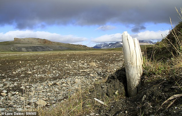Woolly mammoth tusk emerging from permafrost on central Wrangel Island, located in northeastern Siberia