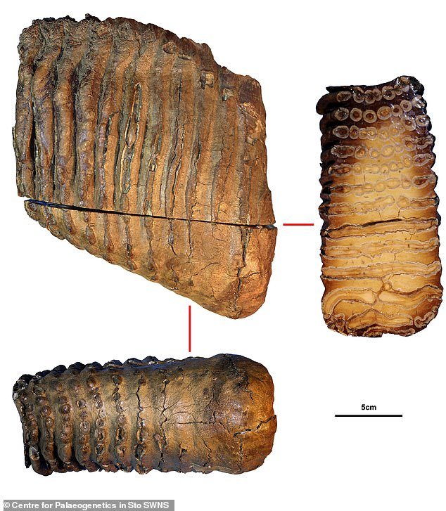 Tooth sample from the Krestovka mammoth.The results show that the Krestovka mammoth diverged from other Siberian mammoths more than two million years ago