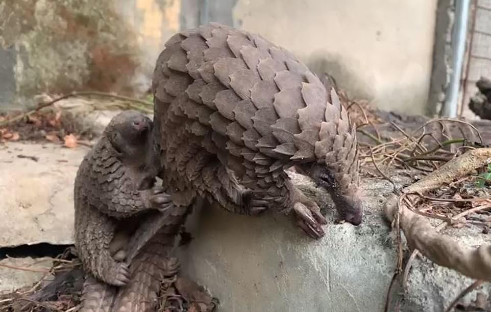 More than a dozen pangolins have been rescued from the wet market and one had a baby (pictured)