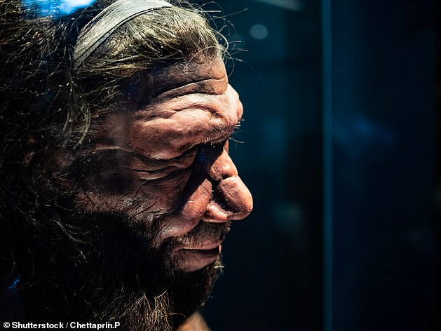 Pictured: A replica of a male Neanderthal head at the Natural History Museum in London