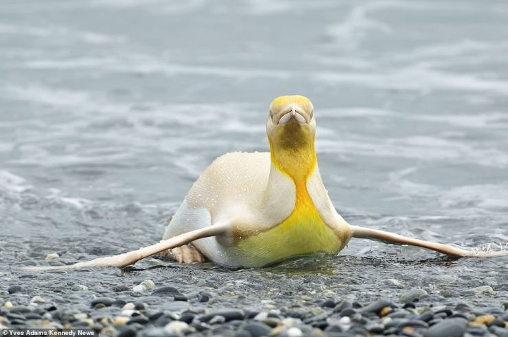 While Yves unpacked safety equipment, a group of the usually monochrome birds swam towards the shore but one unusual bird drew his attention.Noticing the youngster with its bright plumage, Yves was quick to grab his camera and snap these images of what he calls a 'never before seen' yellow penguin