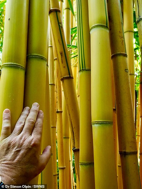 Dr Olpin's 'jungle' has featured more than 30 species of bamboo