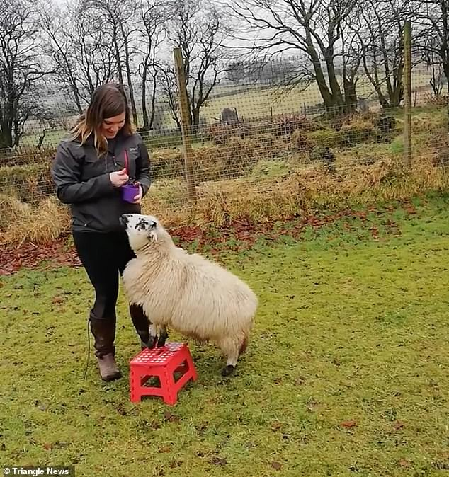 The skilled sheep then finishes with a flourish as she playful steps up on to a short red stool before being rewarded with her final treat
