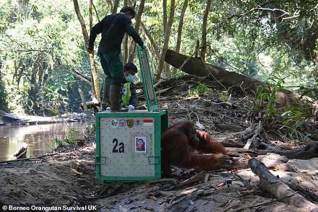 In all, the apes were taken more than 150 miles across Borneo, from their reserve in central Kalimantan, to the Bukit Batikap Protection Forest where they were released, pictured
