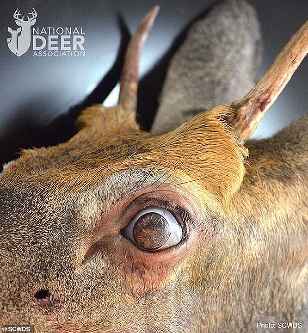 It's likely the deer was born with the condition, but veterinarians believe the tumors grew over time, allowing it to adapt to an ever-decreasing field of vision