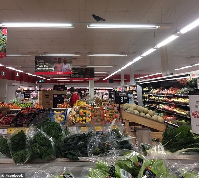 This hungry pigeon (pictured above) was seen above the produce section by disgusted Coles shoppers in Melbourne