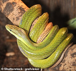 Pictured: A green tree snake