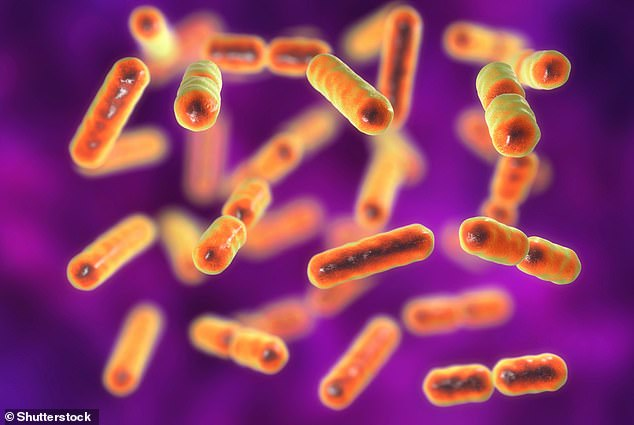 Los datos mostraron que los microbiomas intestinales se volvieron cada vez más únicos (es decir, cada vez más divergentes de otros) a medida que los individuos envejecían, comenzando en la edad adulta media o tardía, lo que se correspondía con una disminución constante en la abundancia de géneros bacterianos centrales (por ejemplo, Bacteroides) que tienden a ser compartida entre humanos.  Representado en la impresión del artista, Bacteroides fragilis, uno de los principales componentes del microbioma normal del intestino humano.