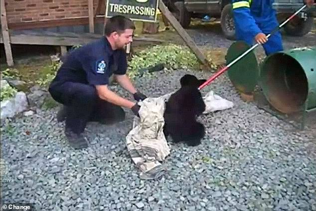 Last year, Casavant won a lengthy legal fight over his dismissal. In the initial court ruling, a judge said Casavant acted within the law when he decided to rescue to cubs (Casavant pictured with one cub in 2015)
