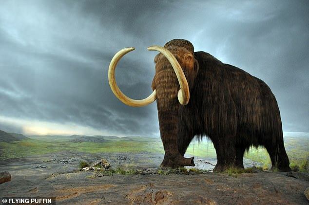 Woolly mammoths roamed what is now New England 12,800 years ago and a new study suggests they shared the landscape with the first humans who arrived in the region some 10,500 years ago