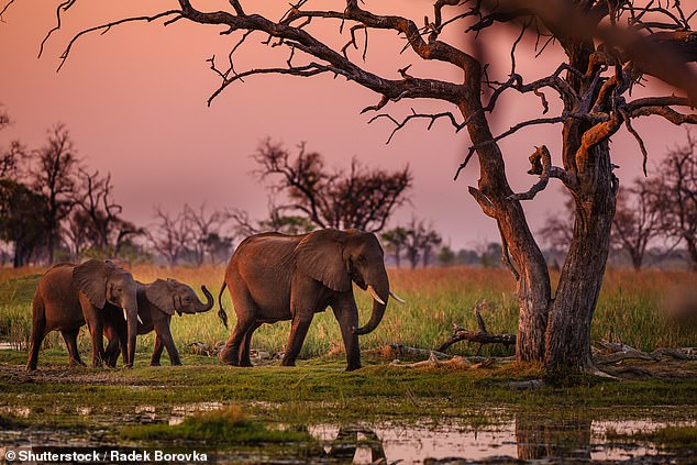 Memorable: Amy recalls going on safari in Botswana, where her husband proposed to her