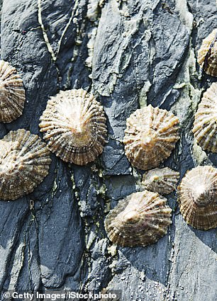 Limpets (pictured) are an edible sea snail mainly eaten when other foods were scarce