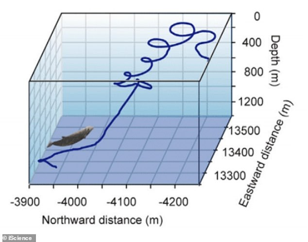 An image from the paper shows how a Cuvier's beaked whale circled during the final ascent phase of a deep dive