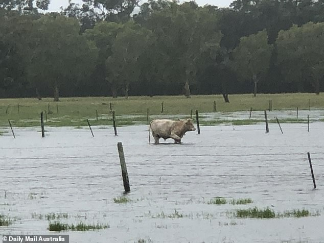 A white cow (pictured) was seen walking though a flooded paddock inu00A0Tambourine Mountain Floods
