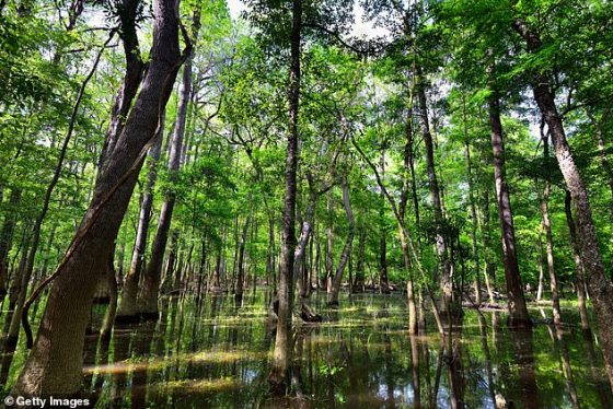 Pictured is Congaree National Park in South Carolina.  New research by a team of North American scientists shows that natural sounds are good for our health