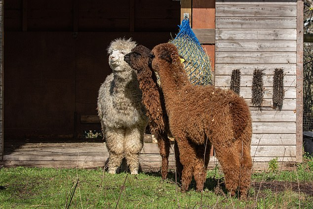The three new fluffy-haired alpacas arrived at London Zoo two weeks ago after being born on a British farm last year