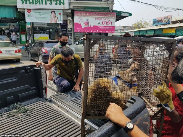 Godzilla, last seen in Bangkok, has spent many years being fed by visitors to the market and has grown in size, prompting people to rescue him and take him to fat camp (pictured).