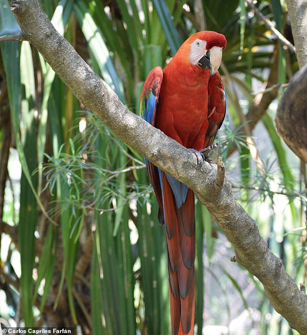 The parrot fossils were found to be up to 900 years old and belong to six species: the scarlet macaw (pictured, a live specimen), blue-and-yellow macaw, mealy amazon, yellow-crowned amazon, blue-fronted amazon, and mitred conure