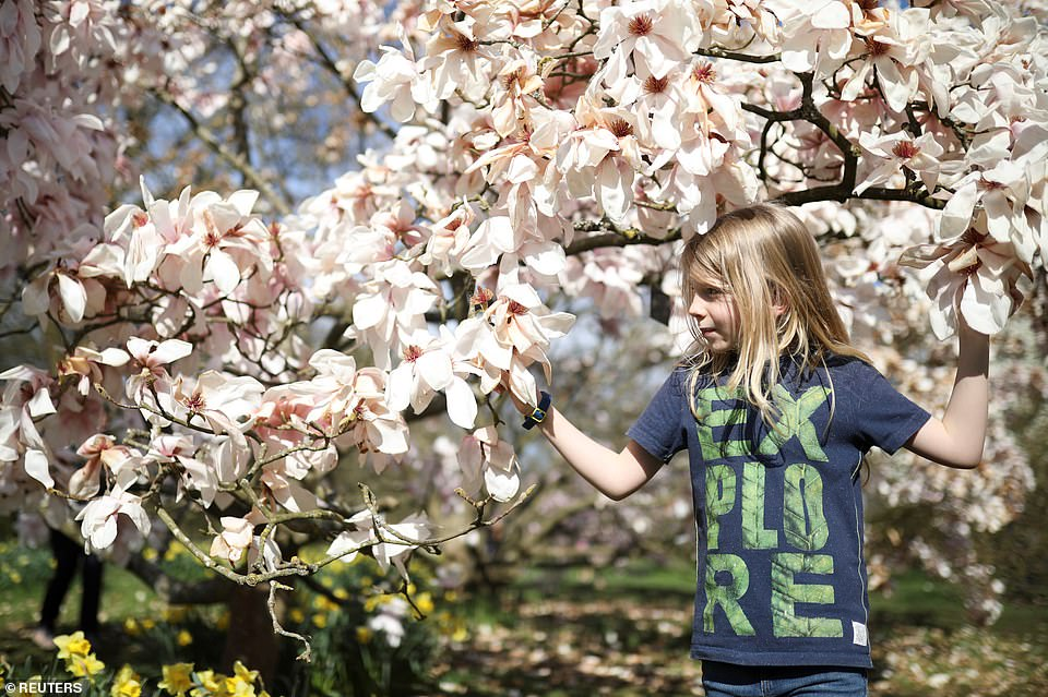 A child stands amid blooming magnolia flowers at Kew Gardens in South West London today