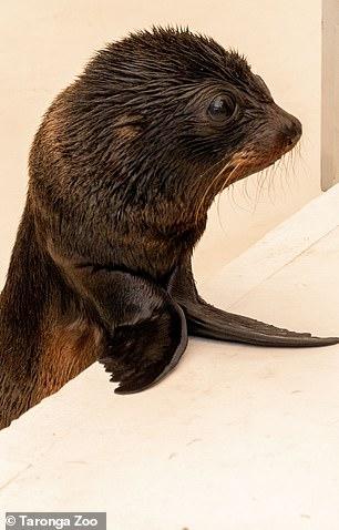 Keke gave birth to Birubi at Taronga Zoo - the first long-nose seal born there in 200 years