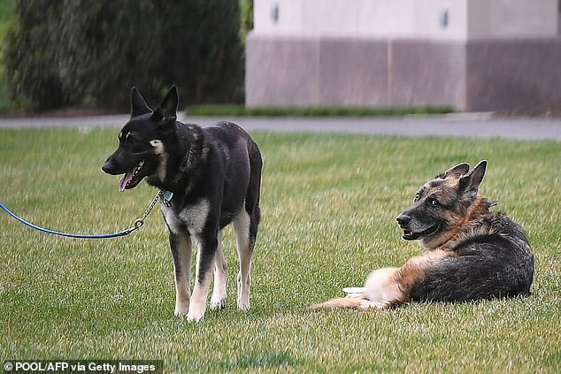 Major, a 3-year-old rescue, was kept on a leash as aides took him and his brother Champ, 12, out onto the White House South Lawn for a walk