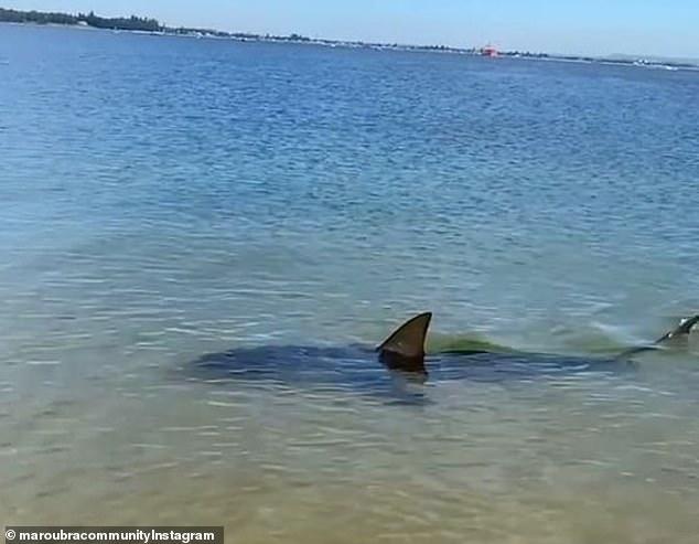 【视频】2米长鲨鱼在悉尼海滩徘徊 好心人帮它重返深海