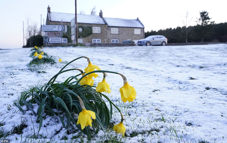 NORTHUMBERLAND: Daffodils wilt in the cold after snow fell overnight on Easter Monday in Slayley, Northumberland. Temperatures have plummeted since yesterday