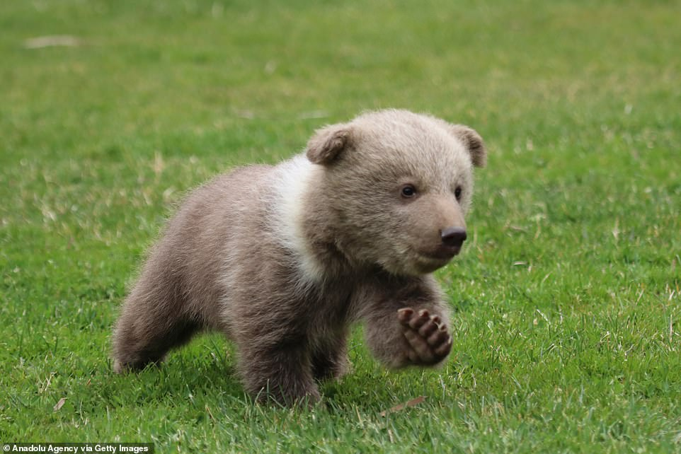 The young cub named Boncuk was brought to Gaziantep Zoo as a rescue animal after being transported to the country illegally