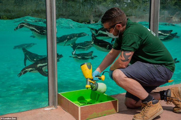 Social distance markers are laid out at London Zoo which reopens next Monday, with tickets already sold out for the first week
