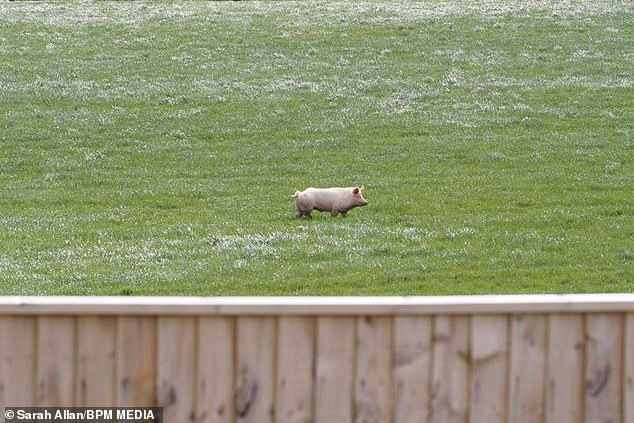 After a search team was launched, a local farmer then posted on Facebook to report a curious pig wandering one of his fields