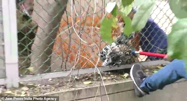 Several men grappled with a control pole once it was looped around the neck of the leopard, which was on the other side of a wire fence