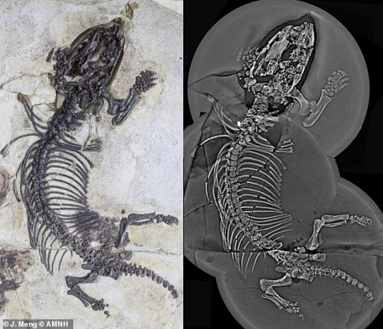 Fossiomanus sinensis holotype specimen.  Optical image (left) and composite computational images using 'laminography' (type of X-ray tomography)