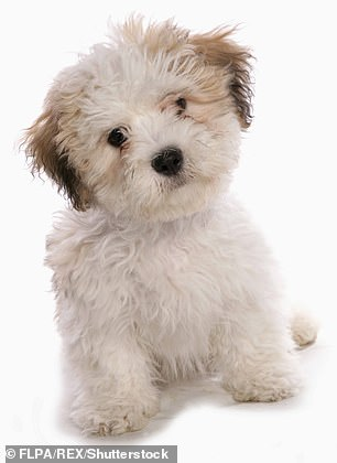 The dog was a shichon, a cross between a Shih Tzu and a Bichon Frise (file photo)
