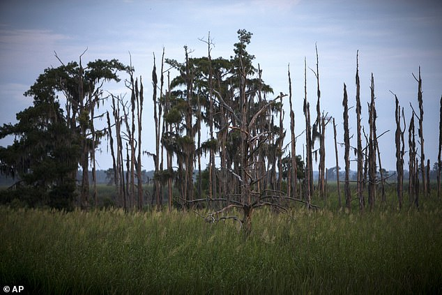 The change is caused by massive amounts of seawater creeping inland that poisons living trees, which slowly die and leave nothing behind but lifeless timber