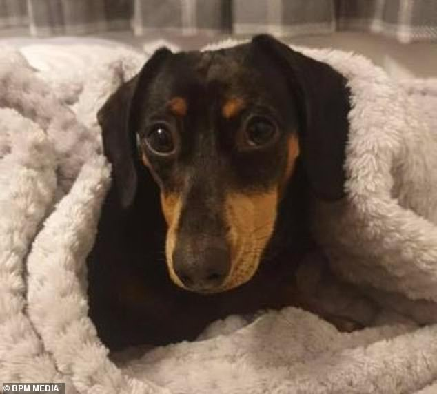 Two-year-old sausage dog Minnie (pictured) was stolen by two men while out on a walk with her owner in Woodville, Derbyshire, on Sunday