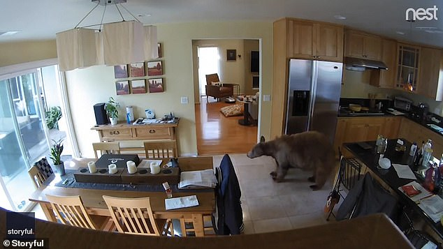 The bear explored the kitchen before it was disturbed by the two dogs