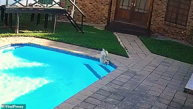 Chucky, a 13-year-old Toy Pomeranian, fell in the pool after getting distracted by something in the garden