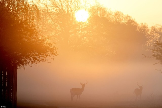 Pictured: Deer are silhouetted against the mist and the early morning sun in Bushy Park, London